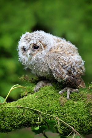 Tawny Owl  Strix aluco  Chick or Owlet sat on moss and ivy covered branch  Taken in Scotland, UK   photo