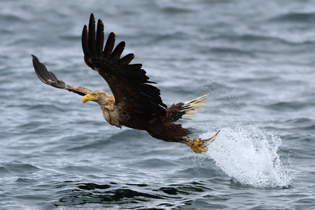 White-tailed Sea Eagle  Haliaeetus albicilla  in flight, lifting off the sea after just taking a fish