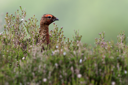Red Grouse (Lagopus scotica) through the heather. Image taken in Angus, Scotland, UK. Stock Photo