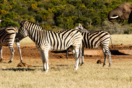Yes it is BIG - Zebra is a southern subspecies of the plains zebra. It is named after the British explorer and naturalist William John Burchell.