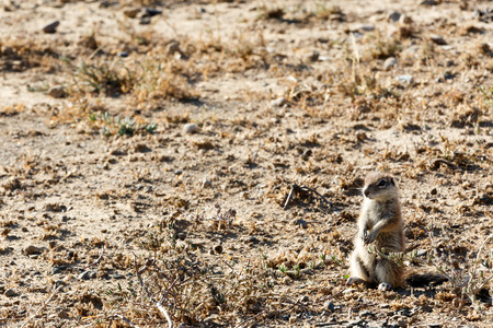 cape ground squirrel: Ground Squirrel YES Sir  - Mountain Zebra National Park is a national park in the Eastern Cape province of South Africa proclaimed in July 1937 for the purpose of providing a nature reserve for the endangered Cape mountain zebra.