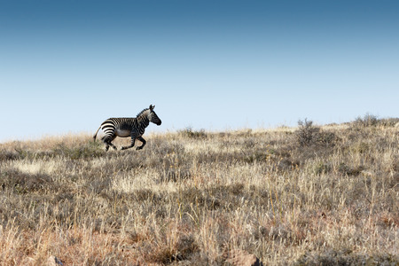 proclaimed: Run Mountain Zebra Run - Mountain Zebra National Park is a national park in the Eastern Cape province of South Africa proclaimed in July 1937 for the purpose of providing a nature reserve for the endangered Cape mountain zebra. Stock Photo