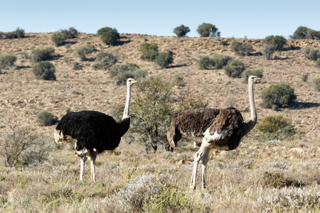 proclaimed: Male and Female Ostrich at The Mountain Zebra National Park is a national park in the Eastern Cape province of South Africa proclaimed in July 1937 for the purpose of providing a nature reserve for the endangered Cape mountain zebra.