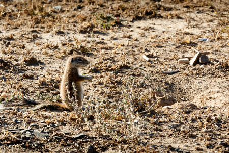 Ground Squirrel - Mountain Zebra National Park is a national park in the Eastern Cape province of South Africa proclaimed in July 1937 for the purpose of providing a nature reserve for the endangered Cape mountain zebra.