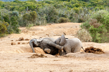 Were playing Smile were on camara - African Bush Elephant Family - The African bush elephant is the larger of the two species of African elephant. Both it and the African forest elephant have in the past been classified as a single species. Stock Photo