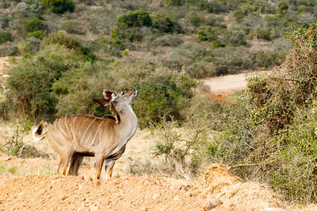 Kudu Just Me - Tragelaphus strepsiceros - The Greater Kudu is a woodland antelope found throughout eastern and southern Africa. Despite occupying such widespread territory, they are sparsely populated in most areas.