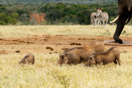 Family of warthog eating grass - Phacochoerus africanus - The common warthog is a wild member of the pig family found in grassland, savanna, and woodland in sub-Saharan Africa.