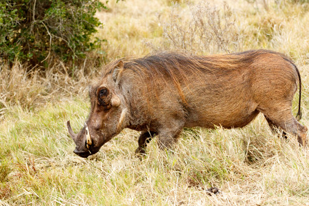 Great Weed i am the common warthog - Phacochoerus africanus - The common warthog is a wild member of the pig family found in grassland, savanna, and woodland in sub-Saharan Africa. Stock Photo