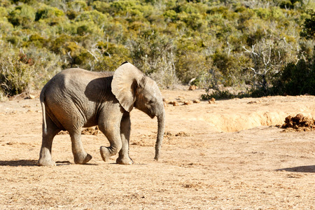 messing: Just messing around - The African Bush Elephant - The African bush elephant is the larger of the two species of African elephant. Both it and the African forest elephant have in the past been classified as a single species.