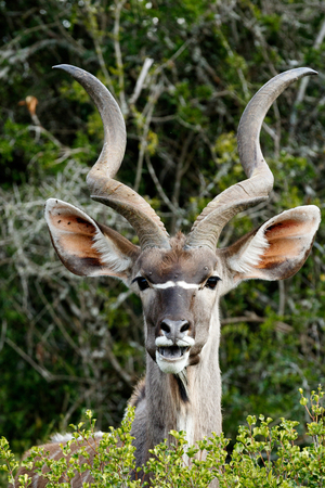 Smiling - The Greater Kudu is a woodland antelope found throughout eastern and southern Africa. Despite occupying such widespread territory, they are sparsely populated in most areas.