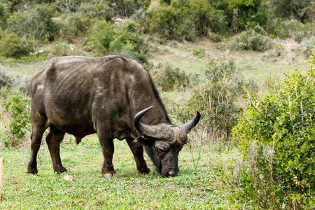 african ancestry: Eating - The African buffalo or Cape buffalo is a large African bovine. It is not closely related to the slightly larger wild water buffalo of Asia and its ancestry remains unclear. Stock Photo
