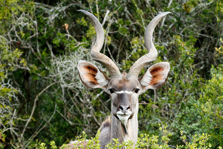 despite: ID Photo look - The Greater Kudu is a woodland antelope found throughout eastern and southern Africa. Despite occupying such widespread territory, they are sparsely populated in most areas.