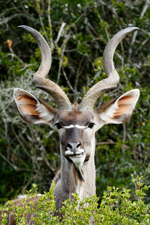 Grinding Your Teeth - The Greater Kudu is a woodland antelope found throughout eastern and southern Africa. Despite occupying such widespread territory, they are sparsely populated in most areas.
