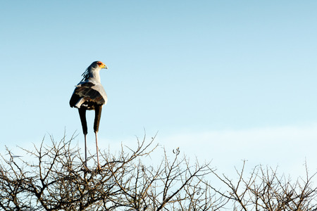 a large bird of prey: The secretarybird or secretary bird is a very large, mostly terrestrial bird of prey. Endemic to Africa, it is usually found in the open grasslands and savannah of the sub-Saharan region.
