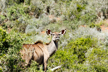 straight up: Greater Kudu standing and staring at the camera with his ears straight up. Stock Photo