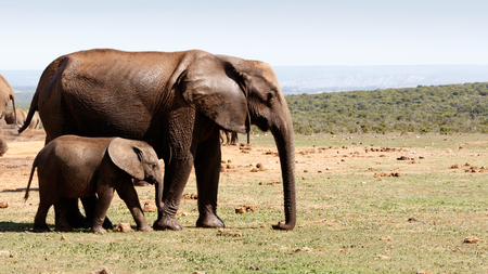 Baby elephant walking with his mother after bathing at the watering hole. Stock Photo