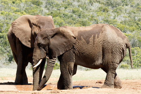 Big Elephant hiding behind his brother at the watering hole Stock Photo
