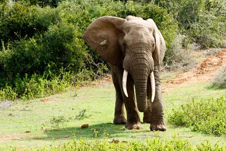 Huge African Bush Elephant putting his foot down Standard-Bild