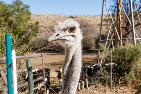 struthio camelus: Ostrich behind a fience on a farm in Graaff-Reinet.