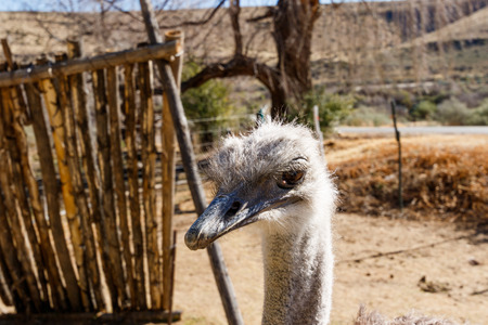 struthio camelus: Ostrich standing close to the fience on the farm with his head down.
