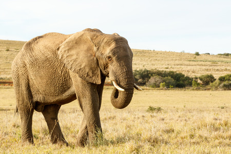 Standing tall The African bush elephant eating grass in a huge open field Stock Photo
