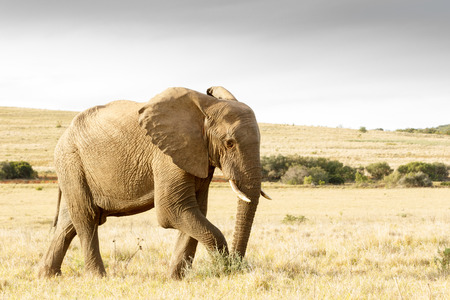It is getting dark soon and i am The African bush elephant and i need to get home