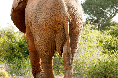 Close up of the backside of The African bush elephant Stock Photo