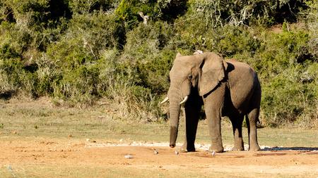 zimbabwe: Loxodonta africana persiguiendo a los pájaros en el pozo de agua con un tronco mojado. Foto de archivo