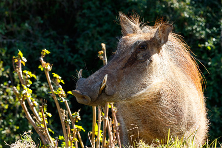 The common warthog stopping and staring at you, showing off his side view.