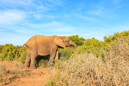 Elephant taking a dump and a wee at the same time and even eating Stock Photo
