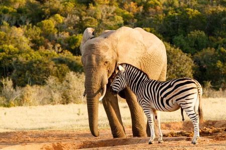 mocking: Zebra mocking a huge african bush elephant at the watering hole.