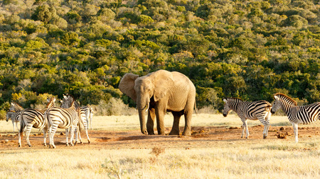 Zebra and The African Bush Elephant at the water hole. Stock Photo