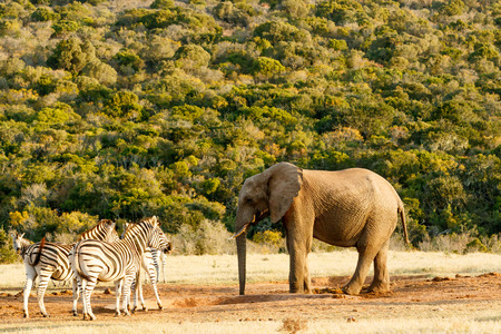 Elephant having a chat with Zebra Stock Photo