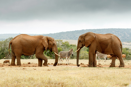 Bush Elephant lifting his leg while the other Elephant is staring at him at the dam. Stock Photo