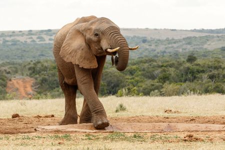 Bush Elephant lifting his one leg to climb in the watering hole.