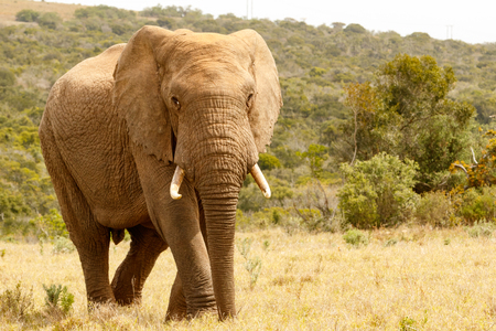 Elephant walking proudly to you in the field. Stock Photo