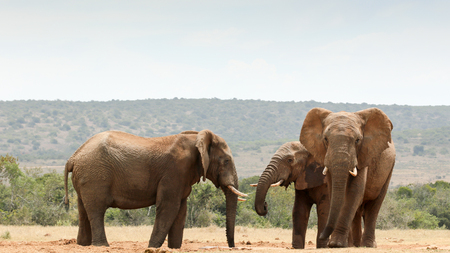 Bush Elephants gathering at the dam to drink water. Stock Photo