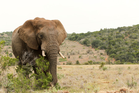 Bush Elephant standing and grabbing a branch to snack on.