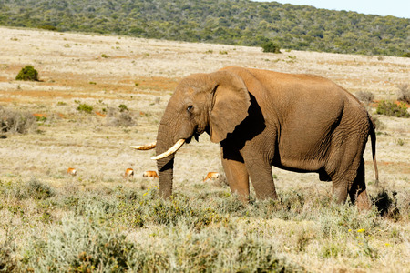 African Bush Elephant with his trunk in the grass with Red-Hartebeest in the back ground. Stock Photo
