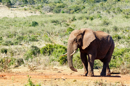African Bush Elephant giving you the sneaky look. Stock Photo
