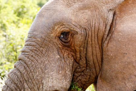 zimbabwe: Elefante mirando mientras está comiendo una hoja.