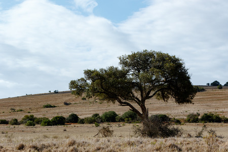 The shady tree on a cloudy day in Addo Elephant Park.