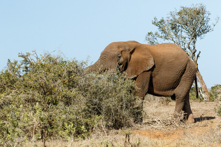 Bush Elephant standing in the field with his trunk in the bushes.