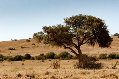 Shade tree in the field in Addo Elephant Park.