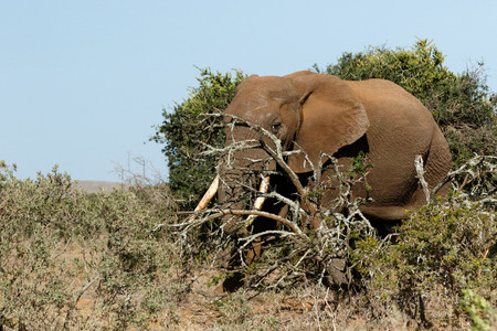 Bush Elephant standing in the field with the branch over his trunk.