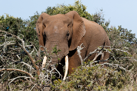 Full view of the Bush Elephant standing behind the branches in the field.