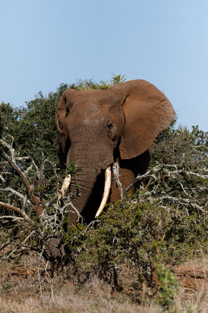 Bush Elephant with his trunk around the branches in the field. Stock Photo