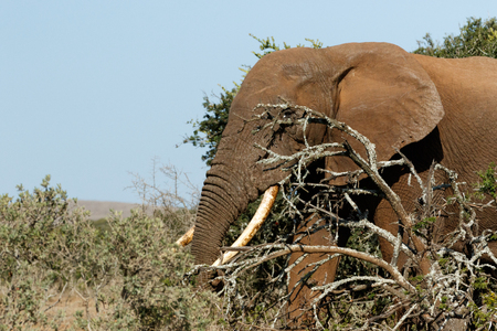 Bush Elephant peeking through the branches in the field. Stock Photo