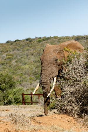 Elephant peeping out of the thorn bush in the field.