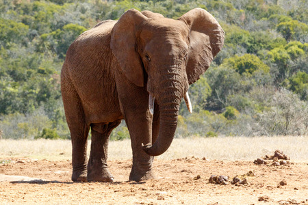 Bush Elephant standing with his ears flapped and his legs crossed over. Stock Photo